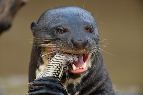 'A huge surprise' as giant river otter feared extinct in Argentina pops up