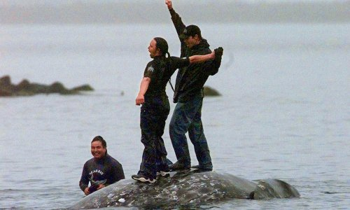 Judge recommends tribe be allowed to hunt gray whales off Washington state