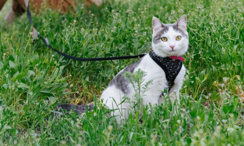 On a short leash: 'Walking our cat in the front garden has become a daily ritual'