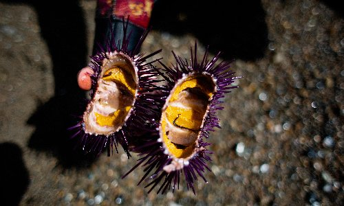 The solution to California's rampant sea urchin problem is to eat them. I gave it a try