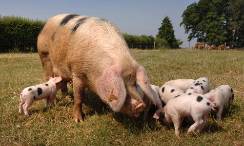UK carbon dioxide shortage could force farmers to cull pigs