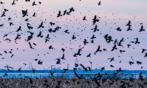 Mystery illness strikes down birds across US south and midwest
