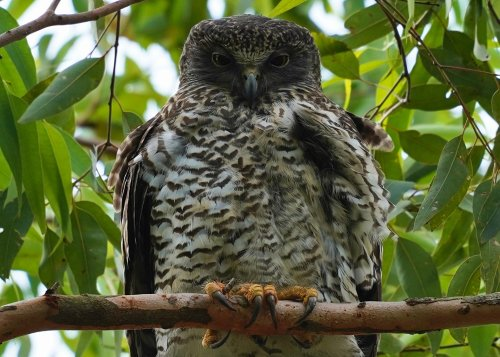 Powerful owls are gentle giants stalking our suburbs, but they are also on the edge