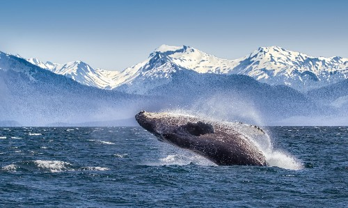 Humpback whales seize chance to sing in Alaska's cruise-free Covid summer
