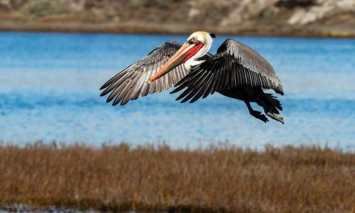 California authorities hunt suspect behind 'atrocious' attacks on Pelicans