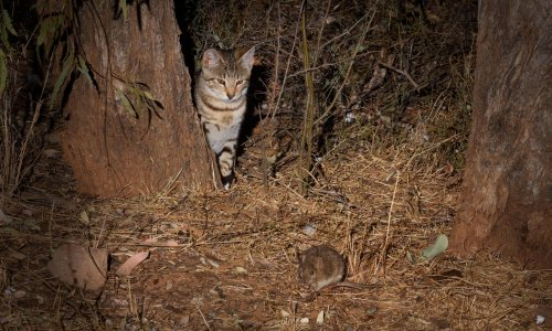 Ryegrass, fire ants and feral cats: major Australian study identifies costliest pests in past 60 years