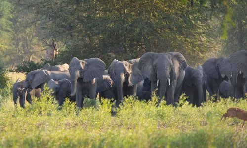 Ivory poaching has led to evolution of tuskless elephants, study finds