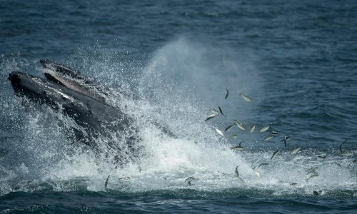 'Everything went dark': humpback whale swallows and spits out diver