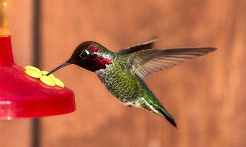 Scientists unlock secret of why hummingbirds hum