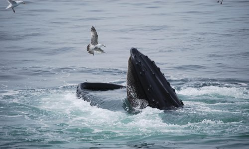 'My God, I'm in a whale's mouth': lobster diver on brush with hungry humpback