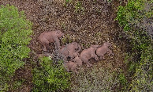 China's herd of wandering elephants takes a rest after 500km trek