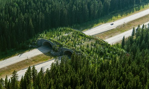 How creating wildlife crossings can help reindeer, bears – and even crabs