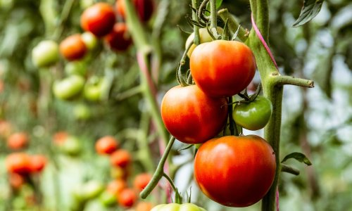 Tips and tricks for the tastiest tomatoes
