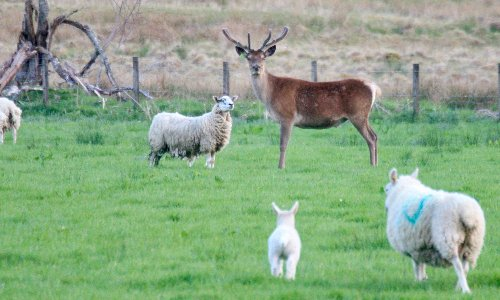 Is the deer-sheep hybrid a myth? – Country diary, 14 May 1971