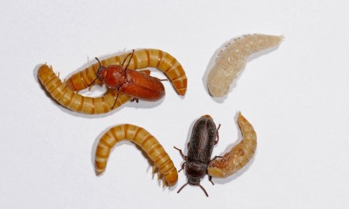 Specieswatch: the truth about the pet shop mealworms