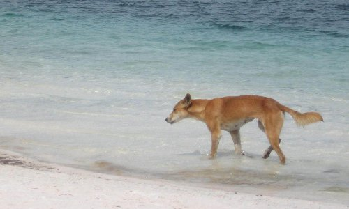 Eyewitnesses urged to come forward after dingo mauls toddler on Fraser Island