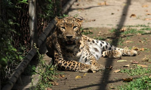 Anger as Chinese safari park kept leopard breakout from the public for nearly a week