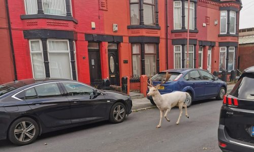 Rare white stag killed by police after running through Merseyside streets