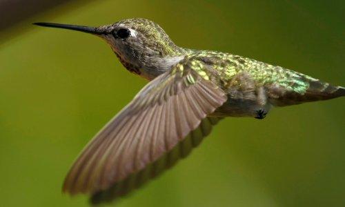 Canada: hummingbirds succeed in halting controversial pipeline construction