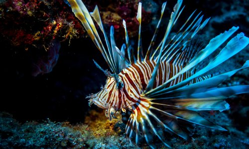 'I've seen 40 on one dive': invasive lionfish threatens ecosystems in Med