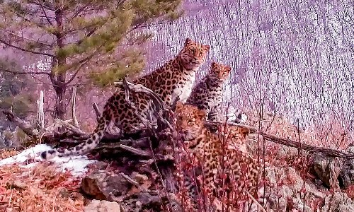 Russian conservationists hail rare sighting of Amur leopard with cubs