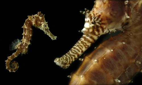 Laugh at the outrage over 'sexy seahorses' – but there's nothing funny about conservatives trying to rewrite history
