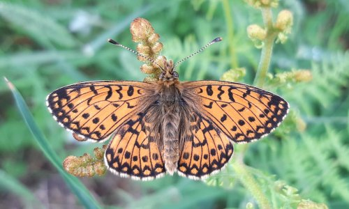 Country diary: a tale of two fritillaries