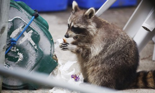 Toronto lockdown brings humans and raccoons together – neither's happy