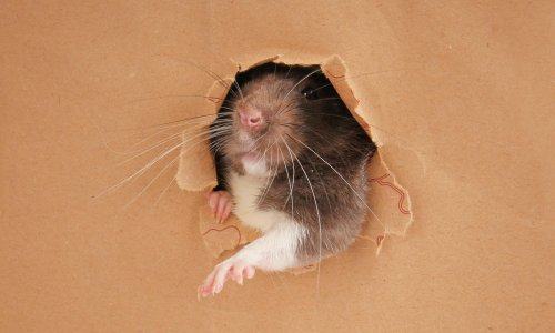 Are we losing the rat race? How rodents took over our offices