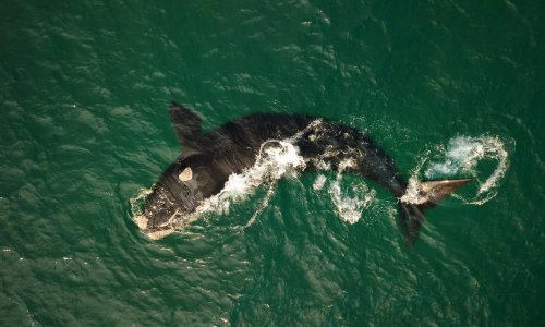 Citizen scientists capture spectacular footage of endangered southern right whales off NSW coast