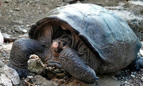 Giant tortoise found in Galápagos a species considered extinct a century ago