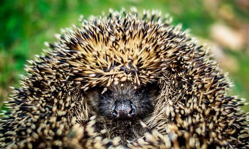 Time to come home, Mrs Tiggy-Winkle