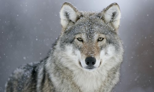 Reintroducing wolves to UK could hit rewilding support, expert says
