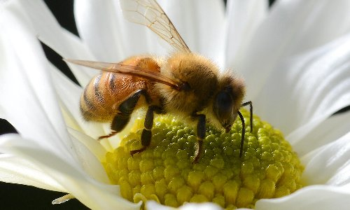 Bee sting twice as likely to land Australians in hospital than encounter with venomous wildlife