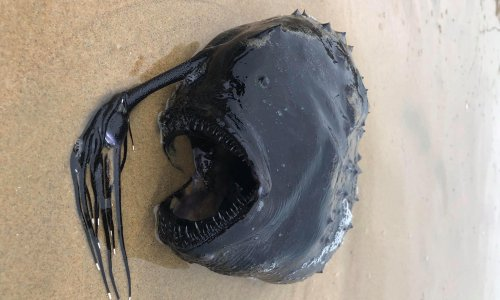 Fangs and tentacles: rarely seen deep sea fish washes up on California beach