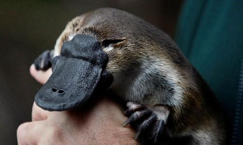 Australia's platypus habitat has shrunk 22% in 30 years, report says