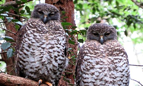 Powerful owl deaths fuel concerns mouse poison is spreading through food chain
