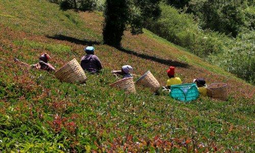 Tea-growing areas to be badly hit if global heating intensifies