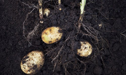 Darling spuds: how to grow potatoes