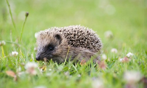 Killing machines: humble British hedgehog causes havoc in New Zealand