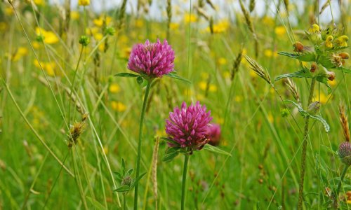 How to grow native red clover