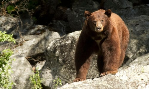 Shove off: California teen pushes away bear on top of backyard fence