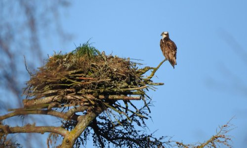 Country diary: the ospreys are back – this is the ultimate spring thrill