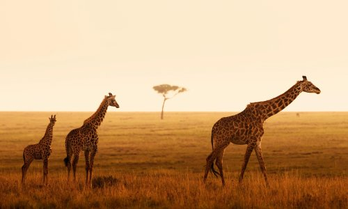 Giraffe grandmothers are high-value family members, say scientists
