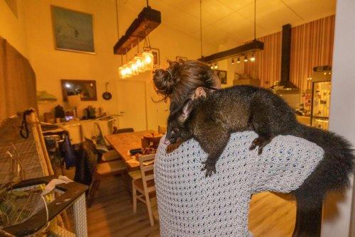Hello possum: the New Zealanders keeping invasive marsupials as pets