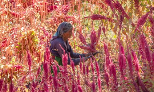 'It could feed the world': amaranth, a health trend 8,000 years old that survived colonization
