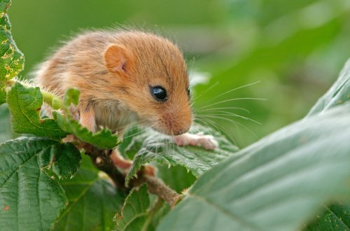 Hedgerow highway will keep dormice thriving in the Yorkshire Dales