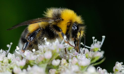 Country diary: mining bees are getting down to business