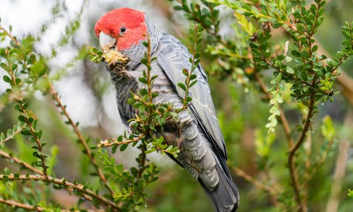 Australian bird of the year 2021: poll returns after fires push some species to the brink