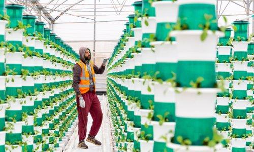'It's not as carbon-hungry': UK's largest sunlit vertical farm begins harvest
